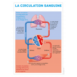 Affiche anatomique circulation sanguine
