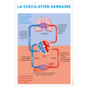 Affiche anatomique circulation sang